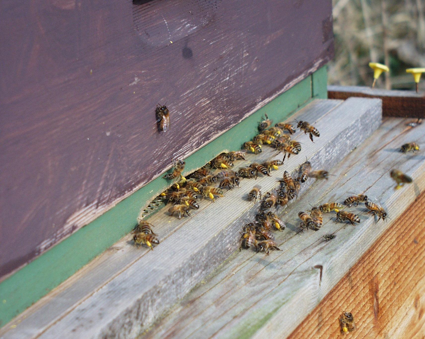 Bees bringing in Willow Pollen