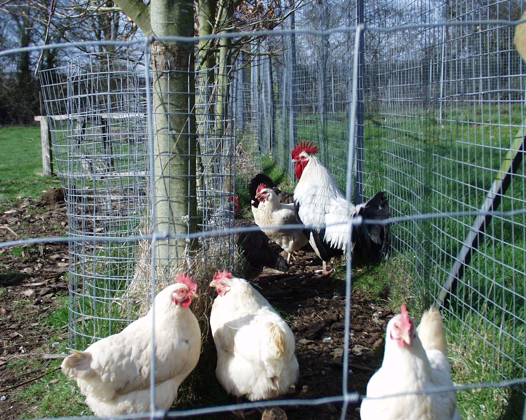 Dorking and Commercial Chickens