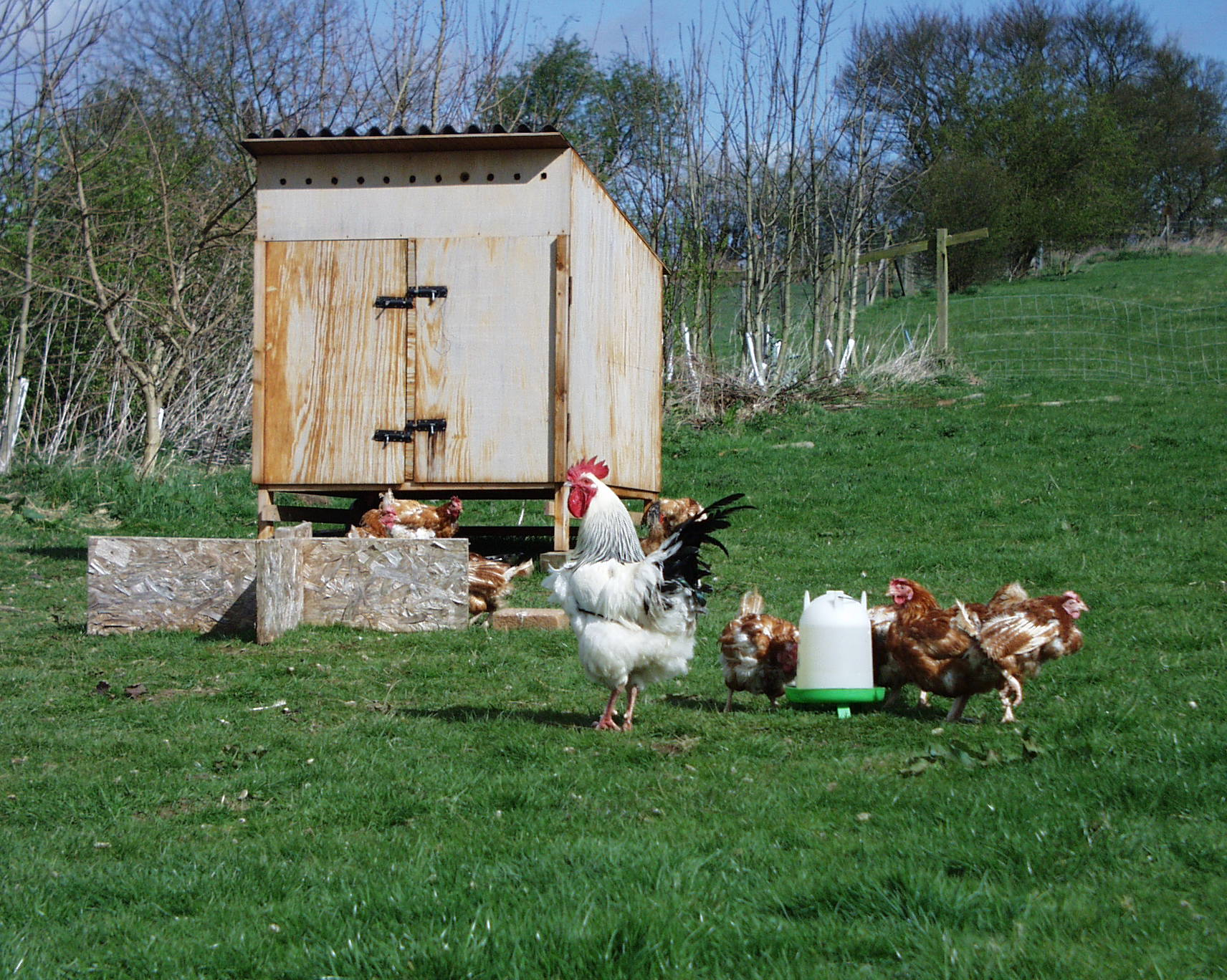 Battery hens and Cockerel