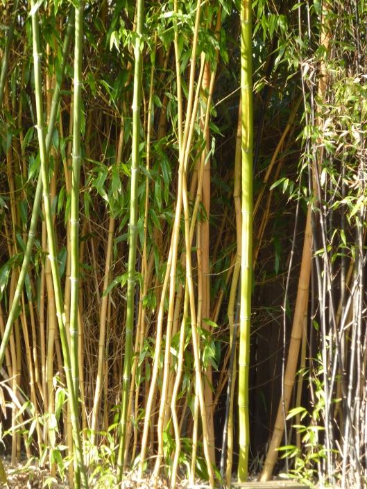 bamboo culms