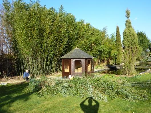 hardy bamboo hedge