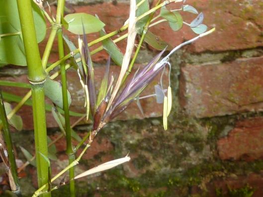 Phyllostachys Propinqua flowering