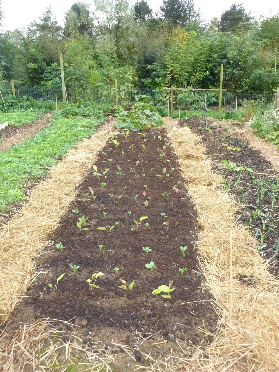 Bean Echinacea and chicory polyculture in raised bed
