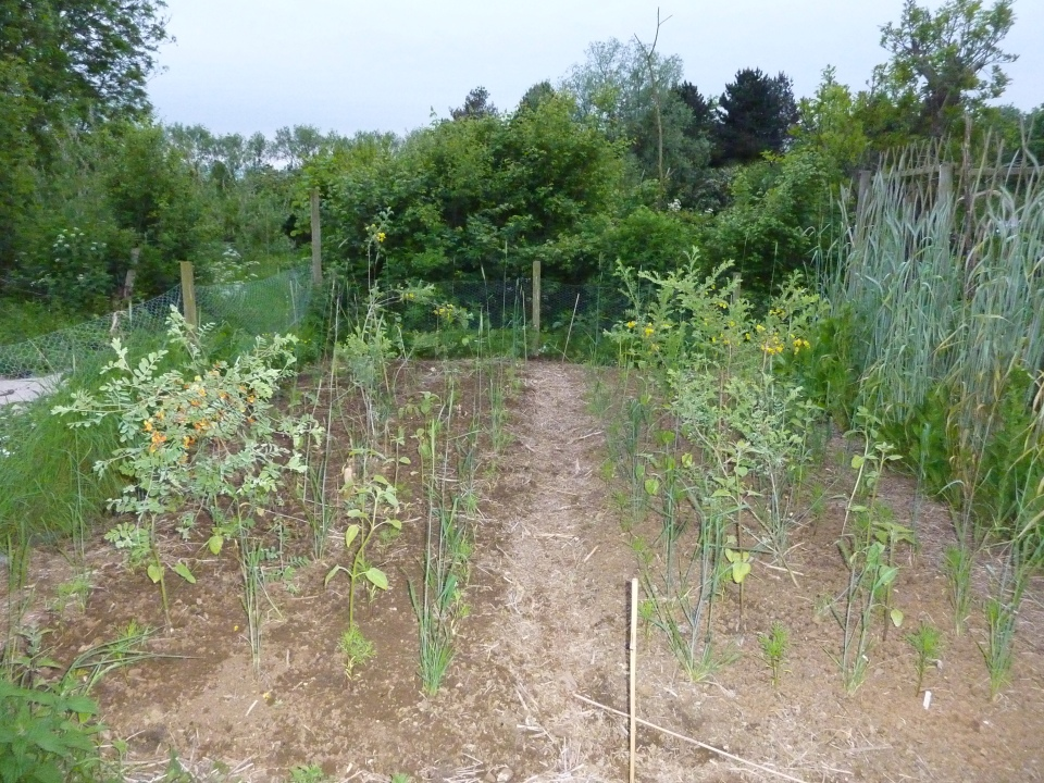 Polyculture of perennial rye
