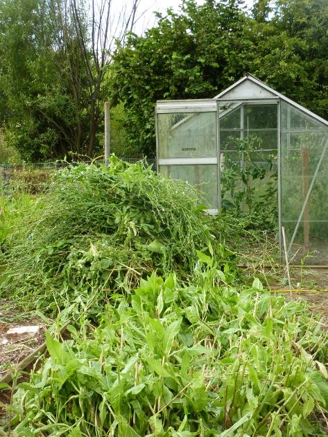 Chicory Biomass